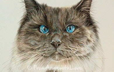 Gizmo – Colourpoint Ragdoll Cat Pencil Portrait, by Angie x
