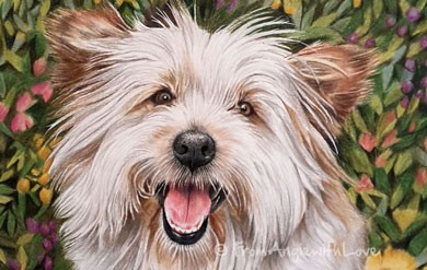 Frank – Highland Terrier Portrait in Coloured Pencil, by Angie x