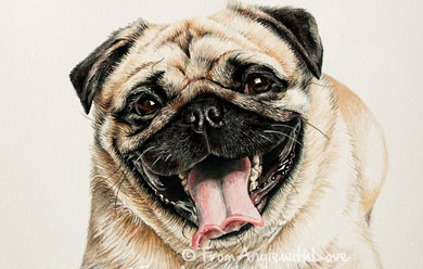 Ralph – Pug Portrait in Coloured Pencil, by Angie x