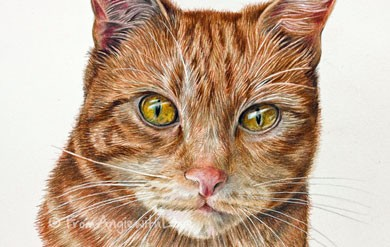 Ernie – Ginger Cat Coloured Pencil Portrait, by Angie x