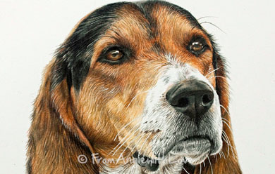 Jessie – Beagle Portrait in Coloured Pencil, by Angie x
