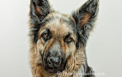 Diesel – German Shepherd Coloured Pencil Portrait, by Angie x