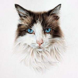 Maisie - Ragdoll cat portrait in coloured Pencil.