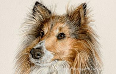 Sophie – Sheltie Coloured Pencil Portrait, by Angie x
