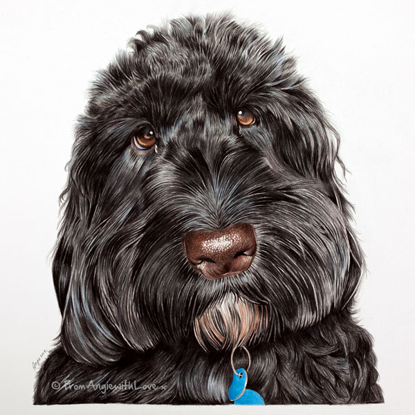 Boo - Cockapoo Coloured Pencil Portrait by Angie.
