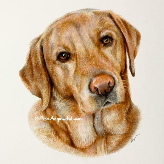 Mac - Fox red Labrador Retriever coloured pencil portrait. By pencil portrait artist Angie
