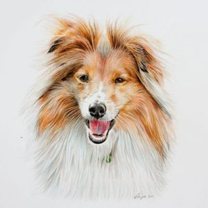 Zac – Shetland Sheepdog Coloured Pencil Portrait, by Angie.