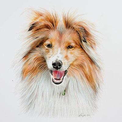 Zac – Shetland Sheepdog Coloured Pencil Portrait, by Angie.
