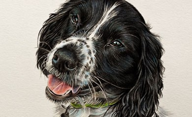 Billy - Coloured Pencil Cocker Spaniel Portrait by Angie