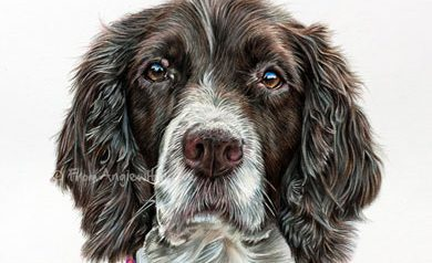 Frank - Coloured Pencil Spaniel Portrait by Angie x