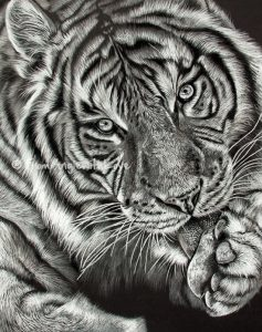 Mohan - Tiger Pencil Portrait available to buy as a limited edition print