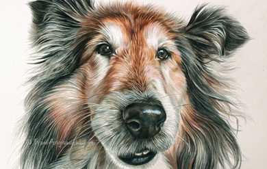 Katie - Shetland Sheepdog Coloured Pencil Portrait by Angie. Commission your own dog portrait here x