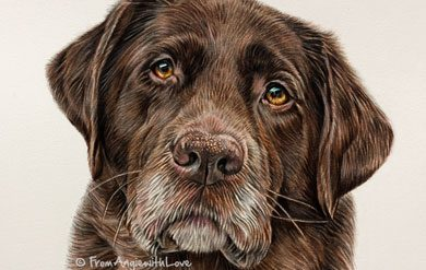 Marlie - Coloured Pencil Chocolate Labrador Portrait by Angie. Commission your own here.