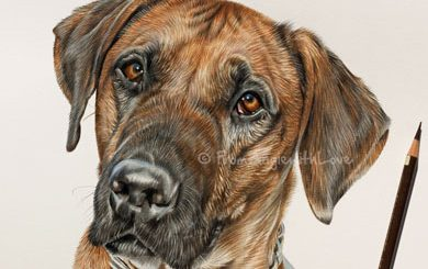 Rhodesian Ridgeback Coloured Pencil Portrait by Angie. Commission your own portrait here x