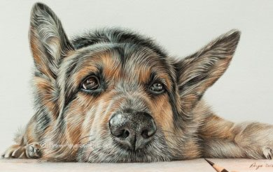 Max - German Shepherd Portrait by coloured pencil artist Angie.