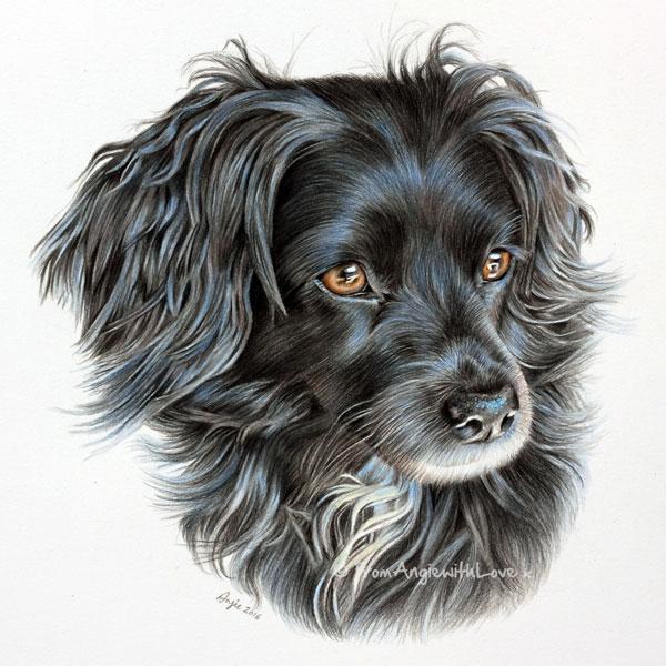 Ruby - coloured pencil spanish spaniel portrait by Angie x