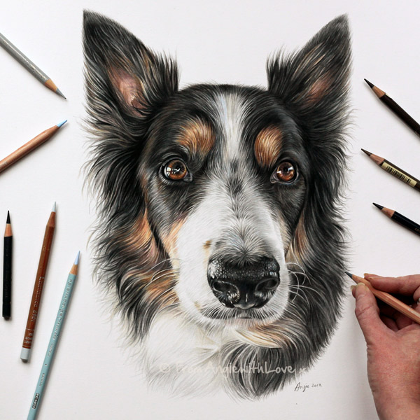 Eko - Collie coloured Pencil Dog Portrait by Angie x