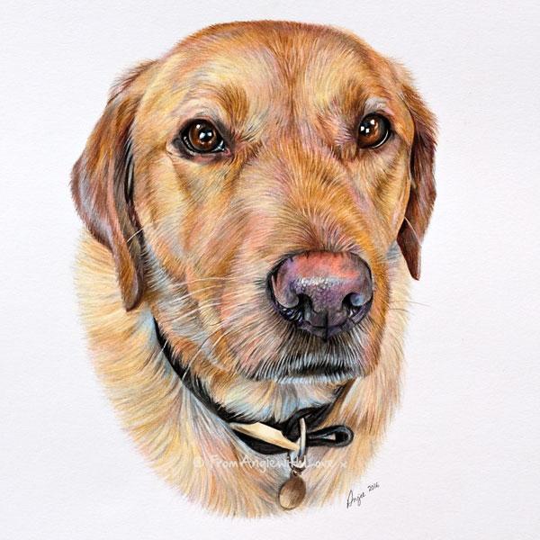 Murphy - Golden Retriever Coloured Pencil Portrait by artist Angie.