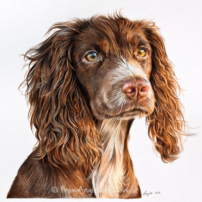 Tilly - Working Cocker Spaniel portrait. Coloured pencil artist Angie x