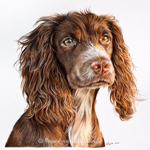 Tilly - Working Cocker Spaniel portrait. Coloured pencil