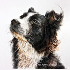 Gypsy - coloured pencil Border Collie portrait by Angie x