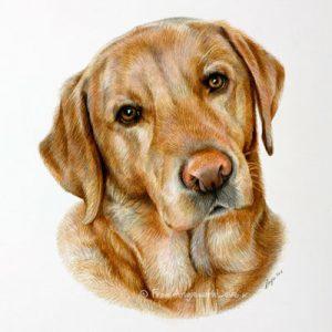 Mac - coloured pencil Labrador Retriever portrait by Angie