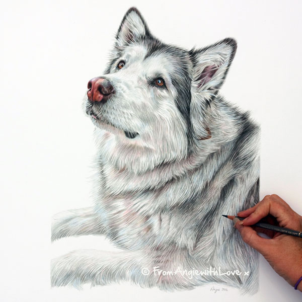 Willow - Alaskan Malamute Coloured Pencil Portrait by Angie.