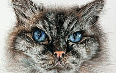 Pollyanna - Coloured Pencil Ragdoll Cat Portrait