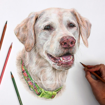 Abby - Golden Retriever Coloured Pencil Portrait by Angie.