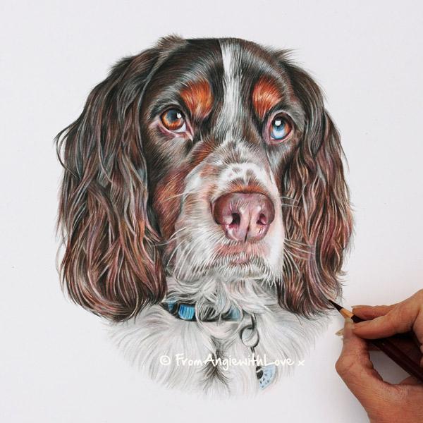 Archie - Springer Spaniel Portrait by Coloured Pencil Artist Angie.