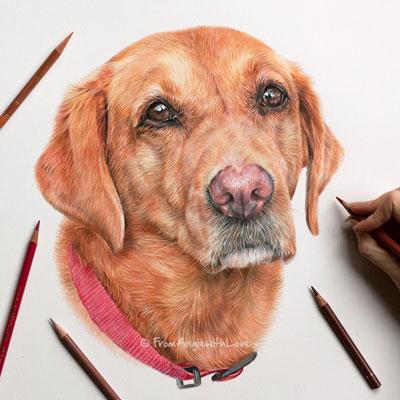 Isla - Coloured Pencil Fox Red Labrador Retriever Portrait by Angie.