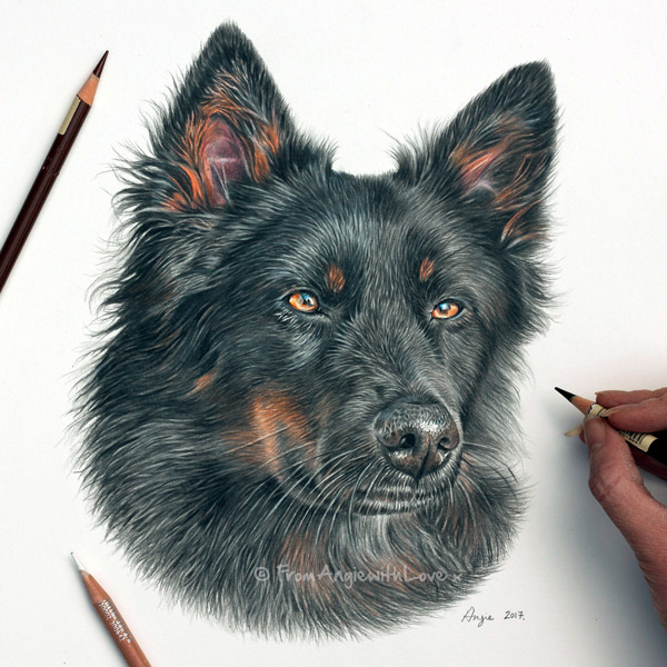 Beau - Coloured Pencil Dog Portrait by Angie.