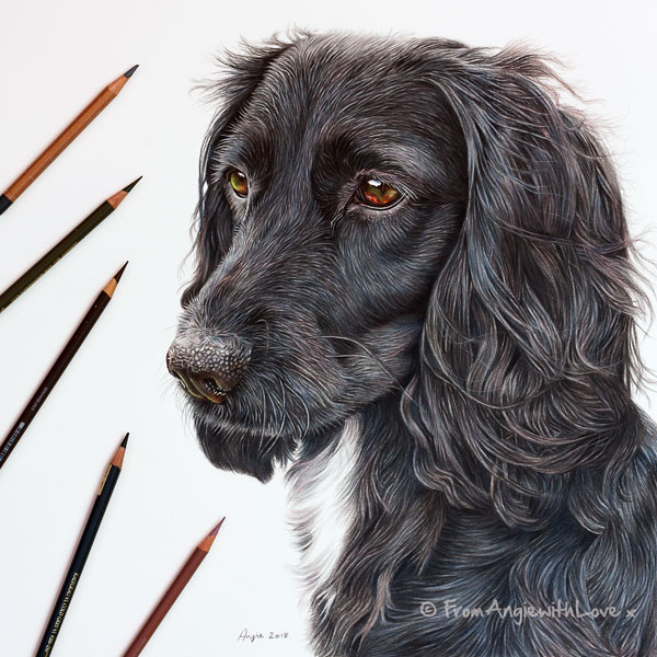 Ella - Cocker Spaniel portrait by Coloured Pencil Artist Angie x