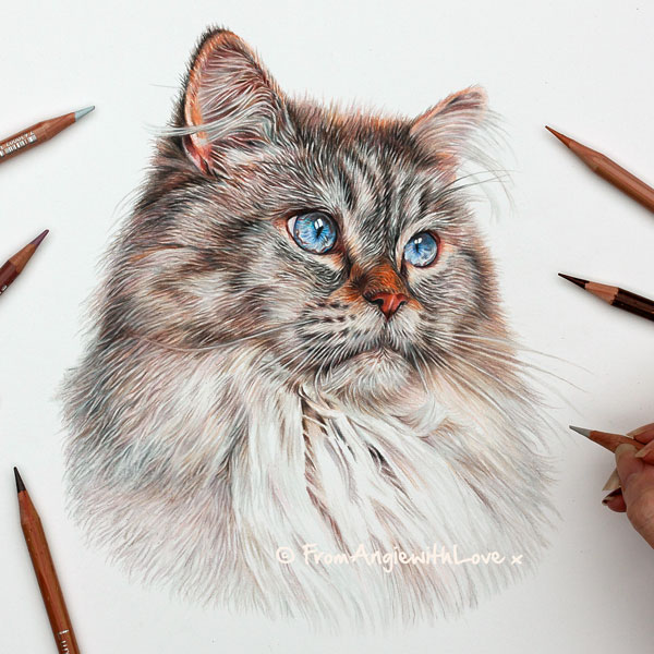 Loki - Ragdoll cat portrait. coloured pencil portrait by Angie x