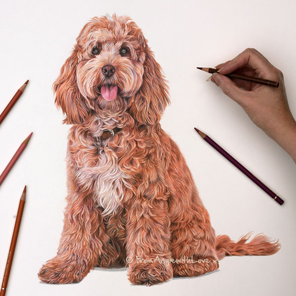 Penny - Cockapoo Portrait by Coloured Pencil Artist Angie.