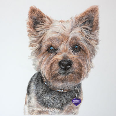 Benji - Coloured Pencil Yorkshire Terrier Portrait by Angie