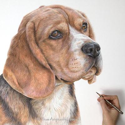BoB - Coloured Pencil Beagle Portrait by Angie