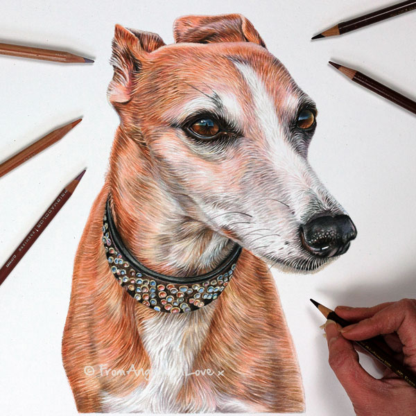 Hilda - Coloured Pencil Whippet Portrait by Angie x