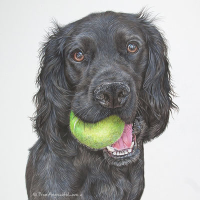 Finn - Working Cocker Spaniel Portrait by Coloured Pencil Artist Angie