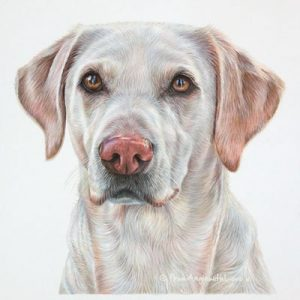 Lilly - Coloured Pencil Golden abrador Retriever Portrait by Pet artist Angie