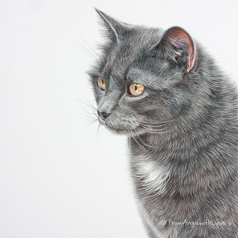 Peanut - Coloured Pencil Cat Portrait by Pet Portrait and Wildlife Artist Angie