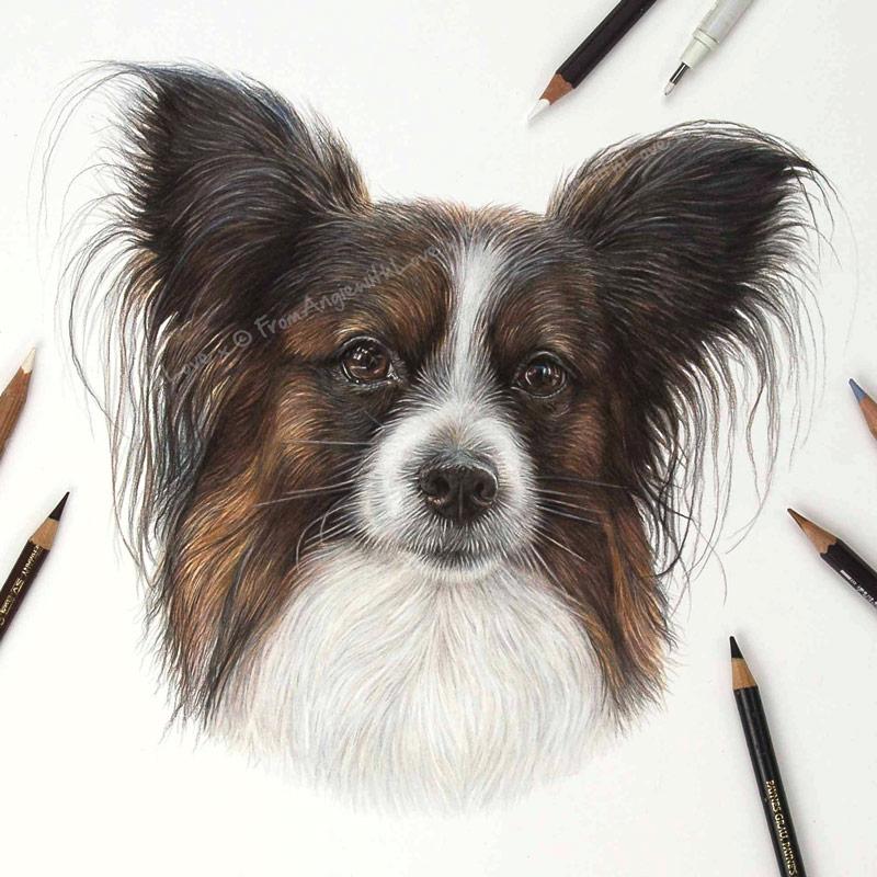 Louis - Coloured Pencil Papillon Portrait by Pet & Wildlife Artist Angie