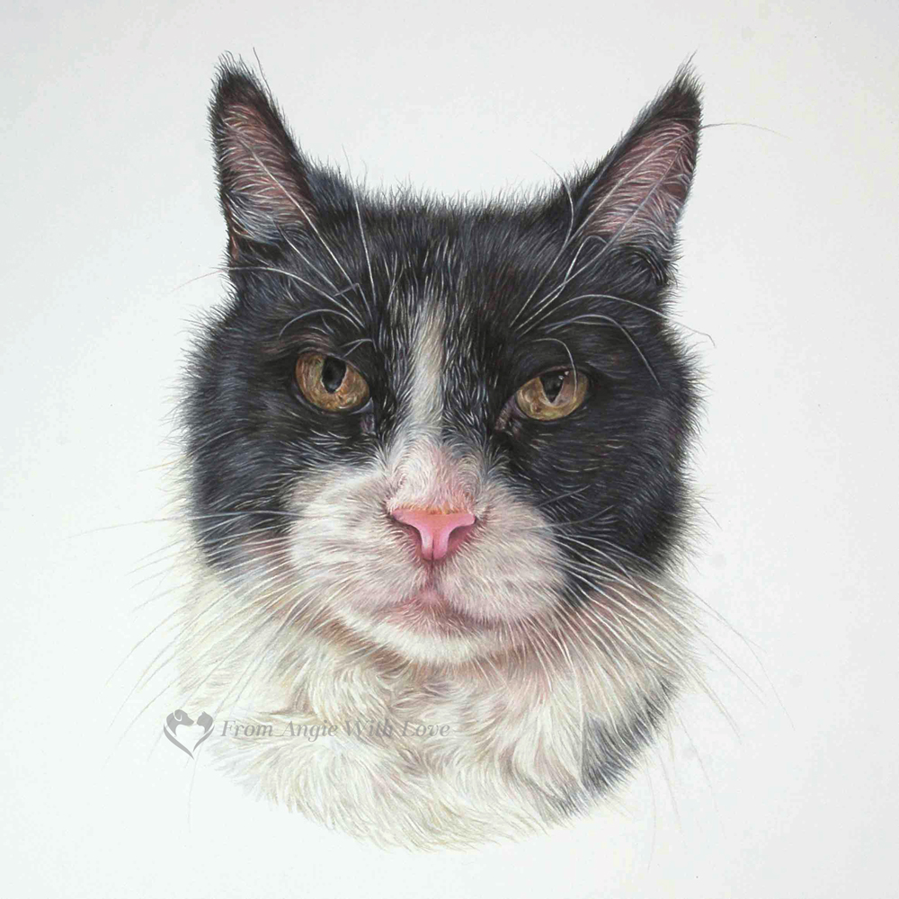 Felix - coloured pencil cat portrait by pet & wildlife artist Angie